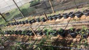 Die Tomatenzucht in der Horta.
