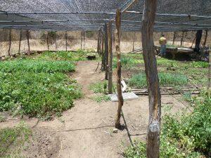 Speziell angelegtes Beet (Netz, Bewaesserung), um moeglichst hohen Ertrag bei der hohen Sonneneinstrahlung zu erzielen